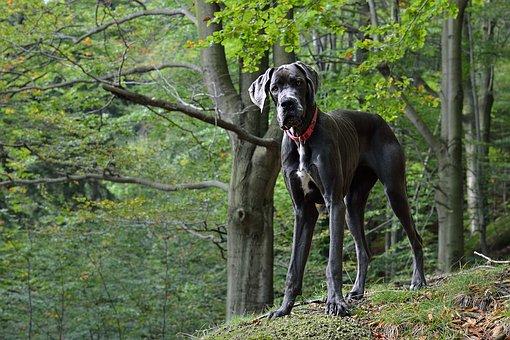 Deense Dog